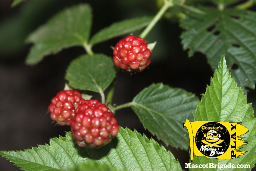 blackberries MascotBrigade Coastee Playground Sports Delaware